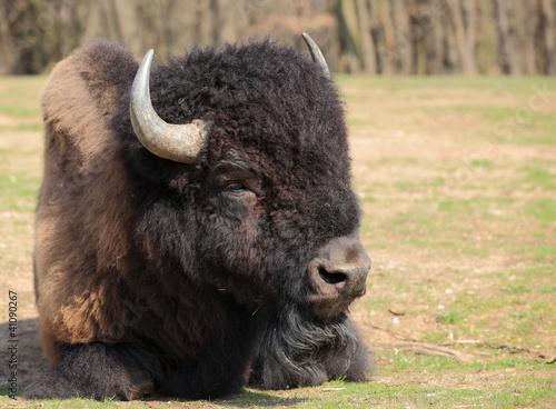 grand bison d'amérique couché