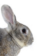 Image of cute grey rabbit head