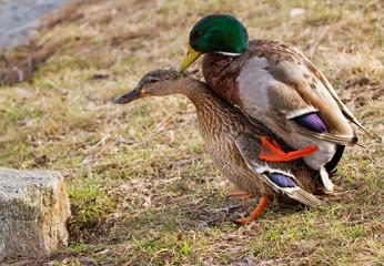 Duck sex.