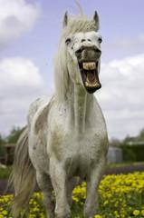 white horse smiling