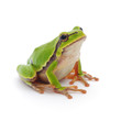 Tree frog - 41105450