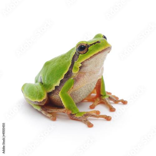 Fototapeten,frosch,grün,amphibians,isoliert