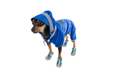 Cute dog toy terrier in blue costume and sneakers
