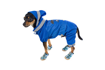 Small dog toy terrier in blue costume and sneakers