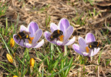 bumblebee  on crocuses