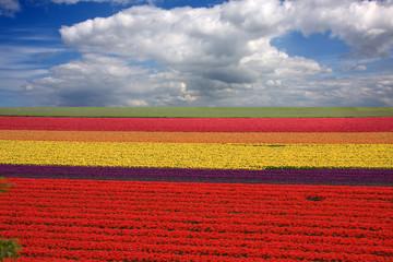 Campi Olandesi con fiori