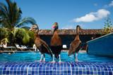 3 Ducks wade at resort swimming pool poster