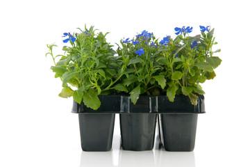 Sixpack blue Lobelia