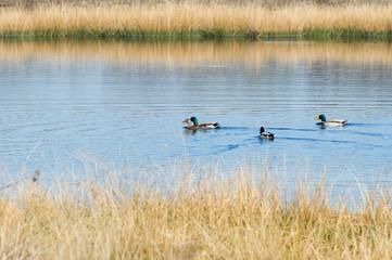 Nature fen with wild ducks