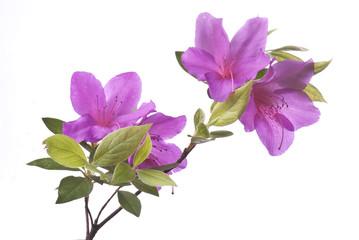 azalea viola su sfondo bianco