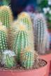 Cactus pequeños en maceta