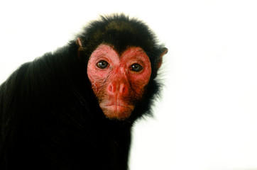 Red Faced Black Spider Monkey