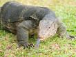 Closeup of monitor lizard - Varanus on green grass focus on the