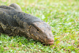 Closeup of monitor lizard - Varanus on green grass focus on the