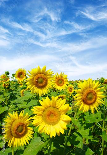 Fototapeten,sonnenblume,feld,himmel,hintergrund
