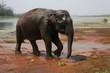 Elephant dans le parc de Chitwan