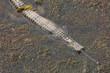 Gavial caché dans la boue de la rivière