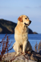 healthy golden retriever on rock overlooking coast