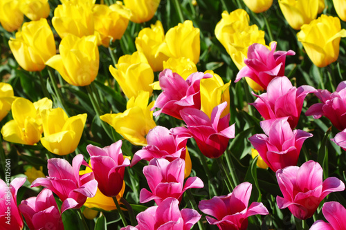Yellow and purple tulip field