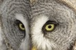 Great Grey Owl eyes