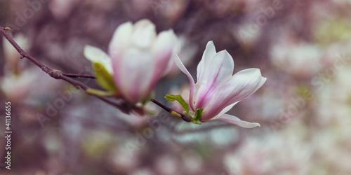 Staande foto Magnolia Magnolia