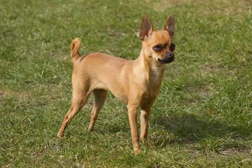 Miniature Pinscher 1 year old