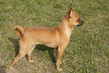 Miniature Pinscher look ahead