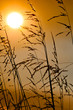 Backlit grass by the sun during a beautiful sunset