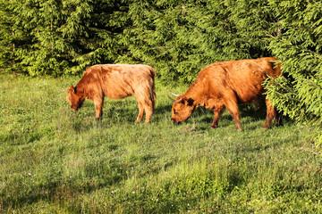 Cows scottish highland
