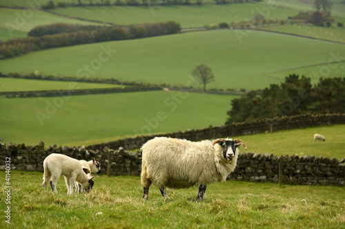 grazing ewe with lambs