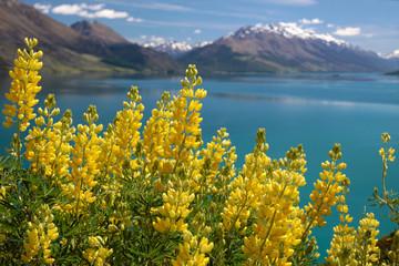 Gelbe Lupinen am Lake Wakatipu