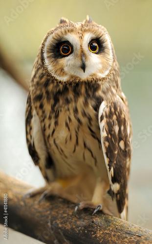 Plexiglas Uil Young owl