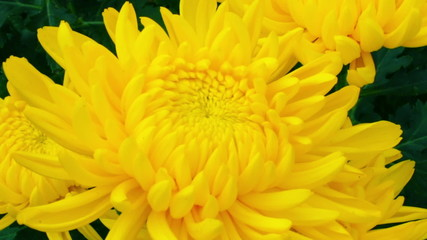 Pan shot of three yellow chrysanthemum flower.