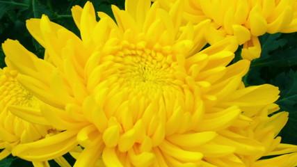 Pan shot of three yellow chrysanthemum flower.