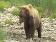 Braunbär frisst Lachs wildlife