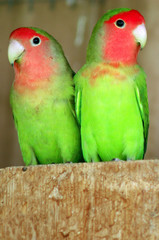 Wildlife Photos - Two  Latino Lovebirds Parrot