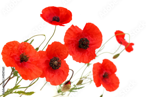 Foto op Canvas Poppy red poppy flowers isolated on white background