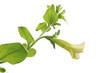 épanouissement d'une fleur de petunia pendula