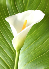 White calla with leaf isolated on white close-up