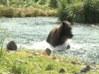 Bär fängt Lachs im Wasser, wildlife Katmai/Alaska