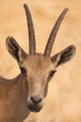 Wildlife Photos - Nubian Ibex Portrait