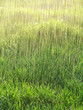 rain and wet grass - background