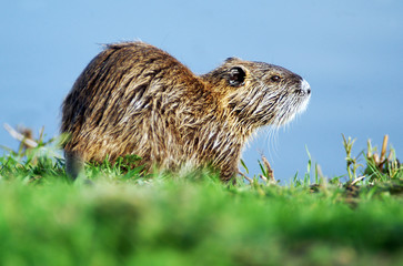 Wildlife Photos - Nutria