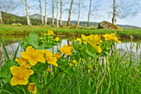 spring landscape - little pond with marsh marigold
