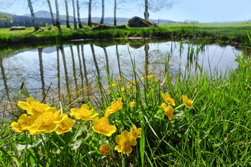 spring landscape - little pond with marsh marigold flowering