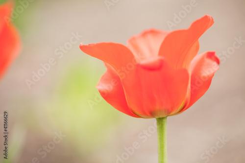 czerwony-tulipan