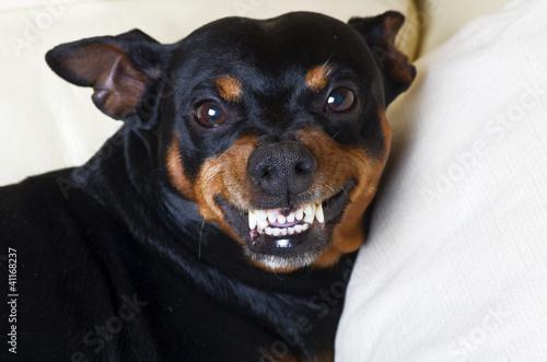 pincher dog