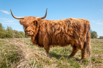 Profile of a Highland cow in winter coat