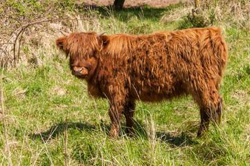 Highland calf in winter fur