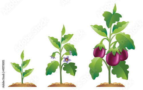 Eggplant growing from a small plant to a fully grown plant